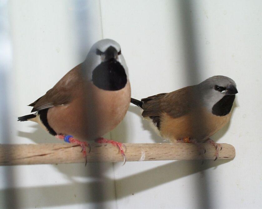 beschreibung krankheiten vögel